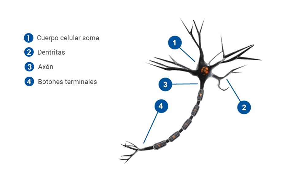 Neuronas | ClikiSalud.net – Adicciones