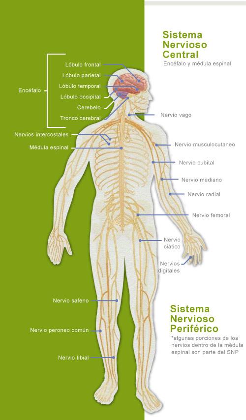 Anatomía del sistema nervioso | ClikiSalud.net – Adicciones